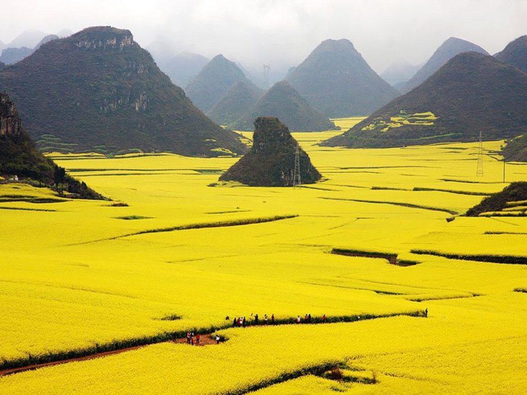 مزارع گلهای زرد کانولا در لوپینگ چین